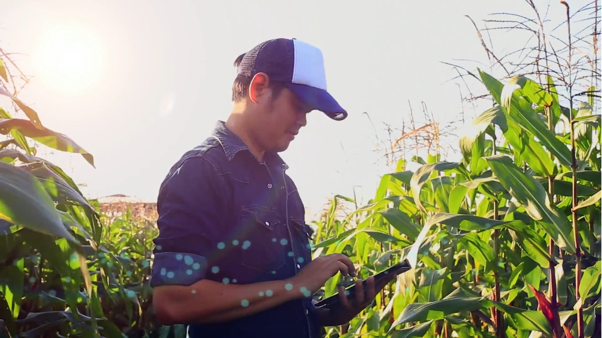 Person in a corn field with a device reviewing data on a tablet