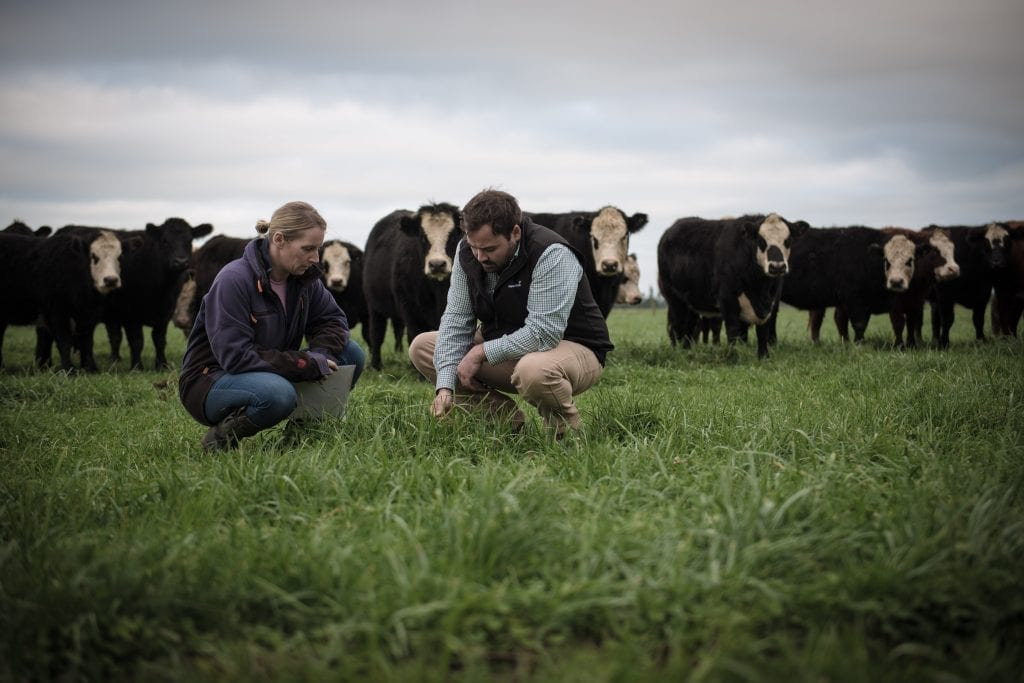 Two people crouched looking at short green growth while cows stand in the background.